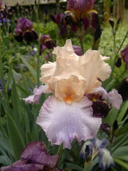 votre plus bel iris 2013-010