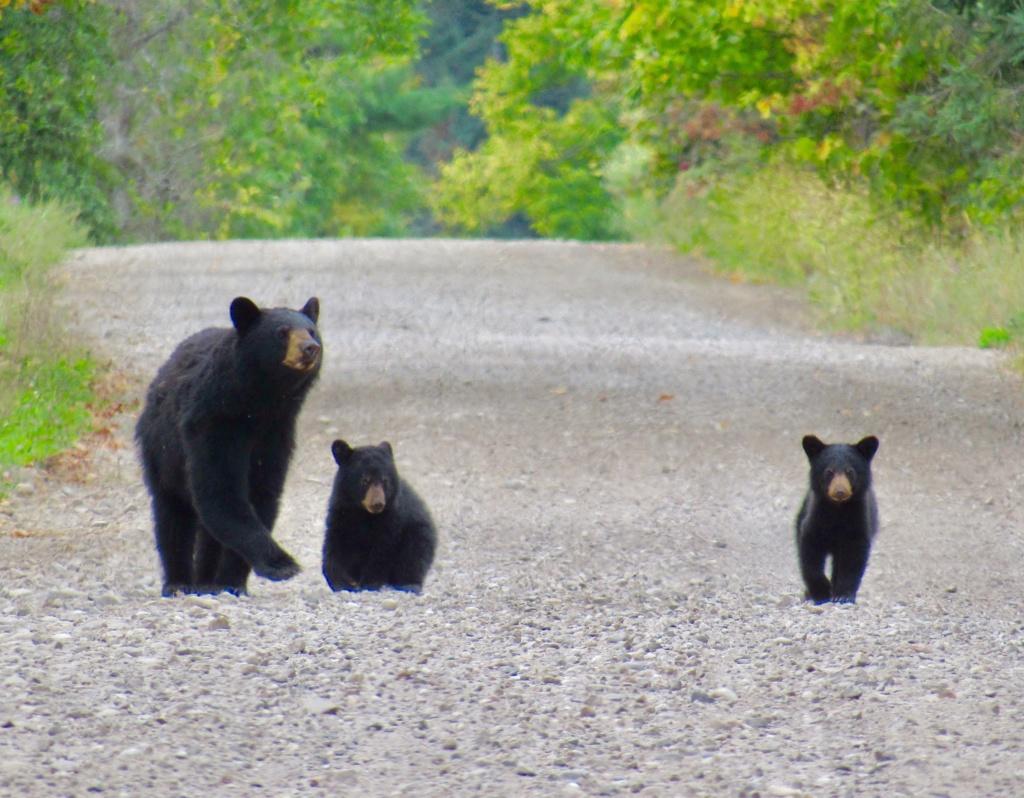 Maman ourse et ses deux petits! Adcb6010