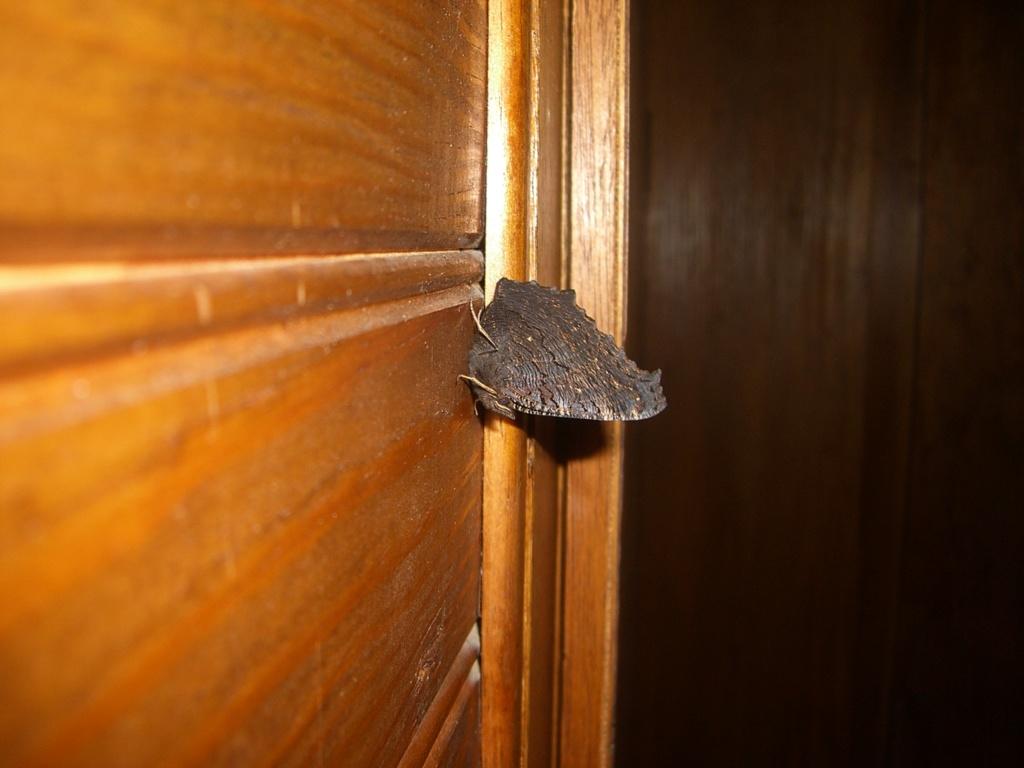 Papillon sauvage dans la maison en hiver Cimg0110