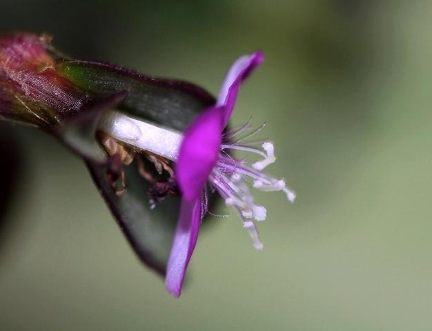 Tradescantia zebrina var. zebrina (= Tradescantia pendula) Etamin10