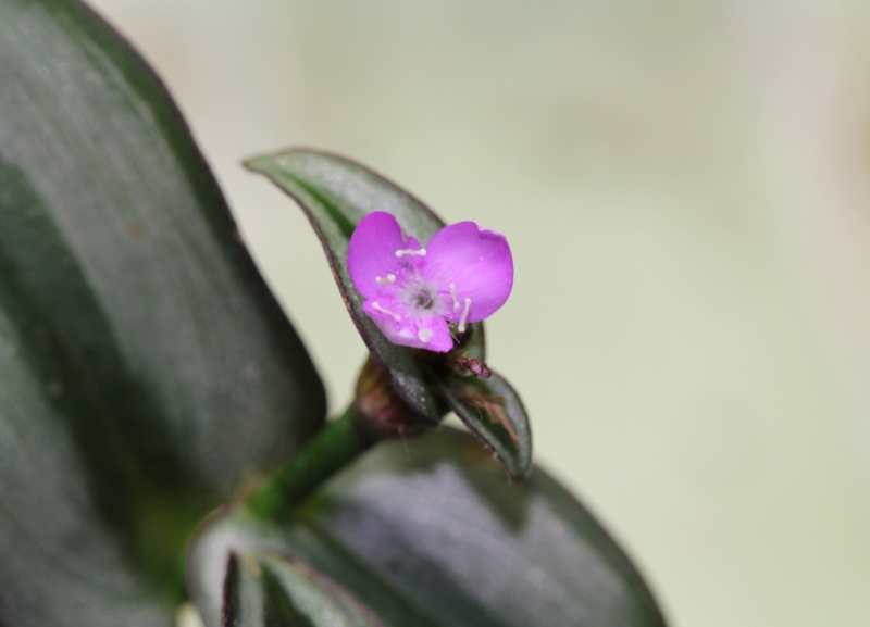 Tradescantia zebrina var. zebrina (= Tradescantia pendula) Florai10