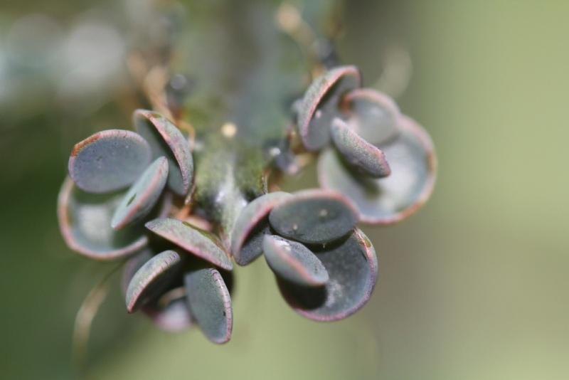 Kalanchoe et Bryophyllum - identifications [verrouillé] Img_0210