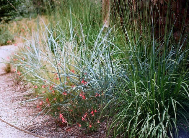 Poaceae (graminées) - Cyperaceae (bambous) Panicu10