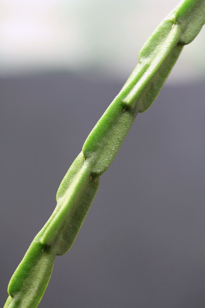Rhipsalis - le genre Rhipsa14