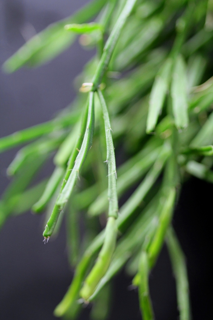 Rhipsalis - le genre Rhipsa18