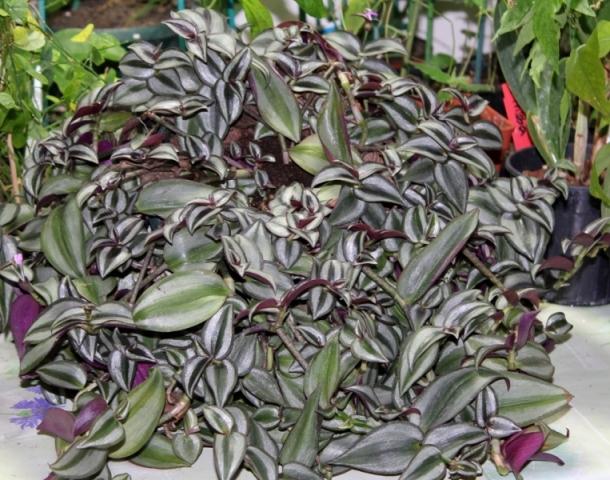Tradescantia zebrina var. zebrina (= Tradescantia pendula) Zebrin10