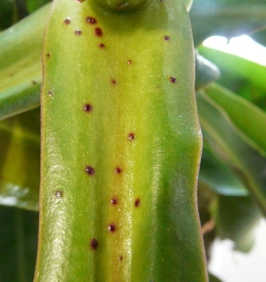 Nepenthes Maxima - Identification et questions Nep10