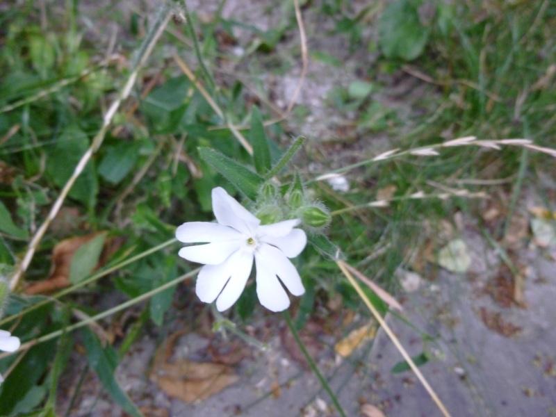 Fleur blanche--Mauvaise herbe? P1000010