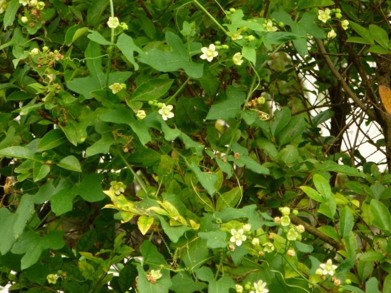 Plante grimpante Envahissante 1 P1000314