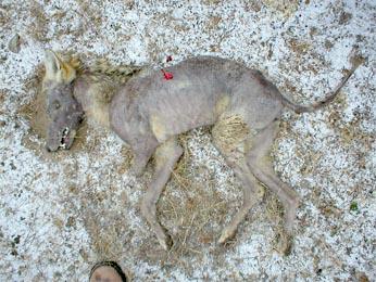 Oklahoma, Chupacabra et photo… Coyote10