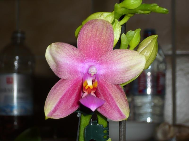 Phalaenopsis Liodoro! - Seite 2 Liodor10