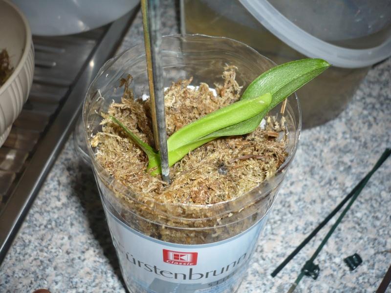 Phalaenopsis Hybrid Sämlinge  - Seite 3 P1050910