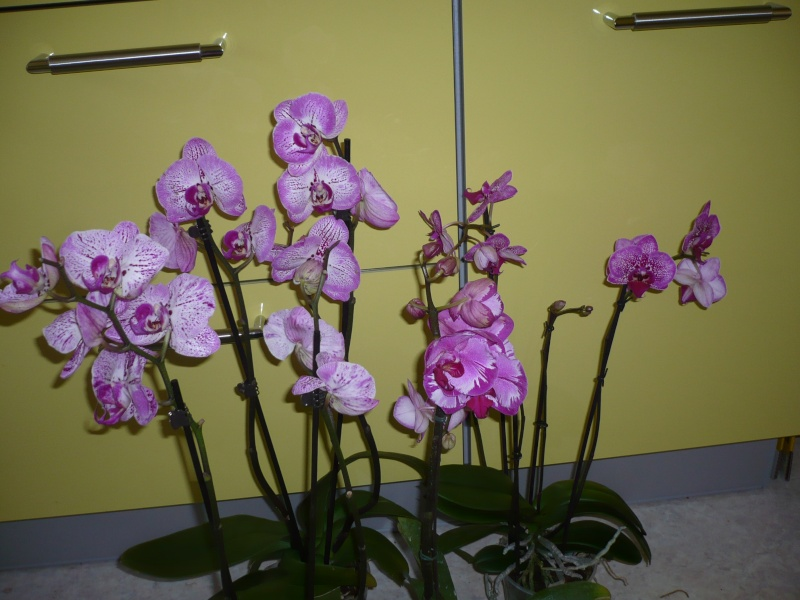 Phalaenopsis - Seite 5 P1060011