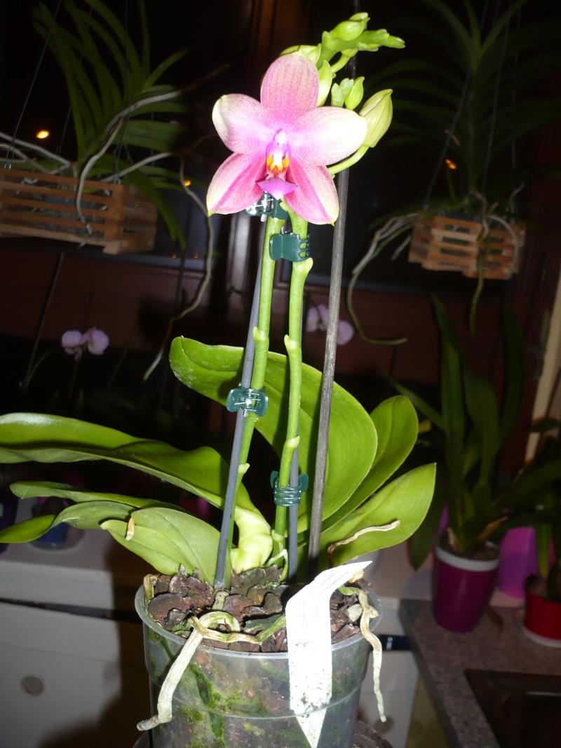 Phalaenopsis Liodoro! - Seite 2 Phal_l10