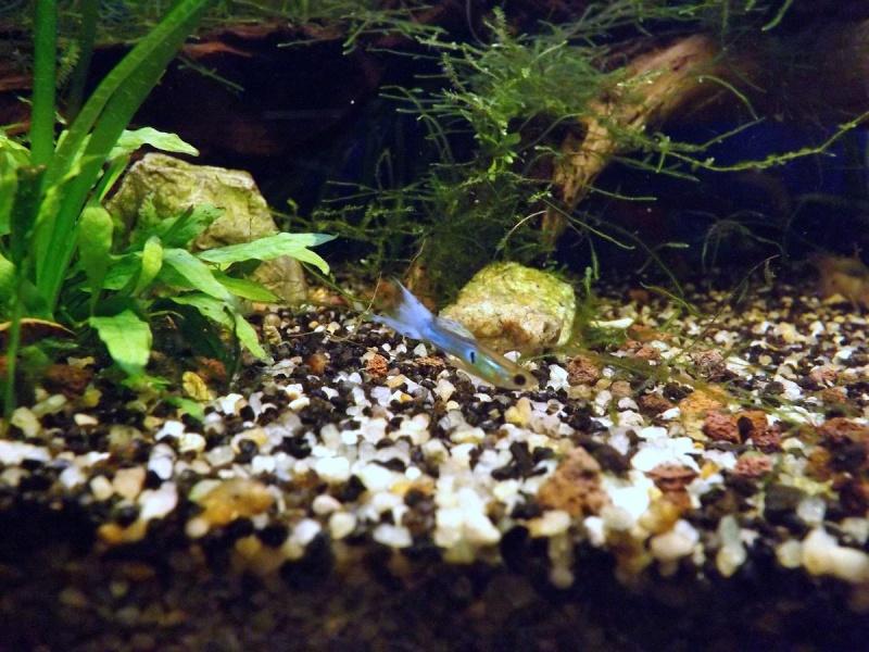 """90Litres planté population principale """"poecilia blue japan"""". - Page 6 Guppy_12"""