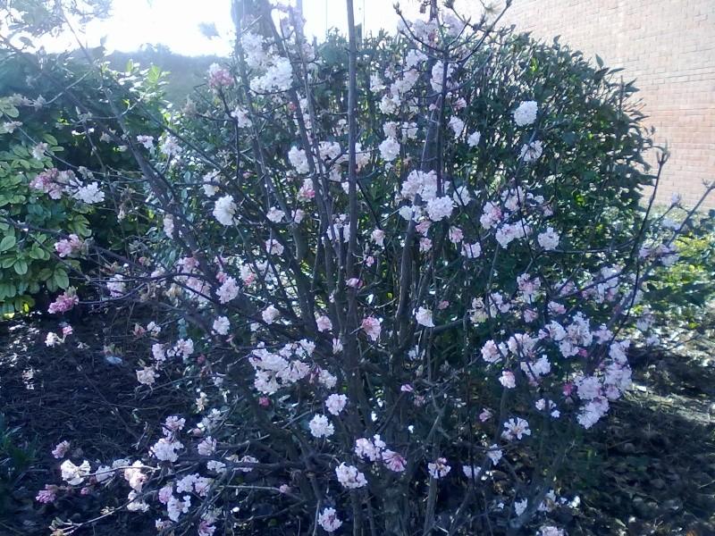 qu'est ce donc cet arbuste fleuri? Viburnum X bodnantense  Photos15