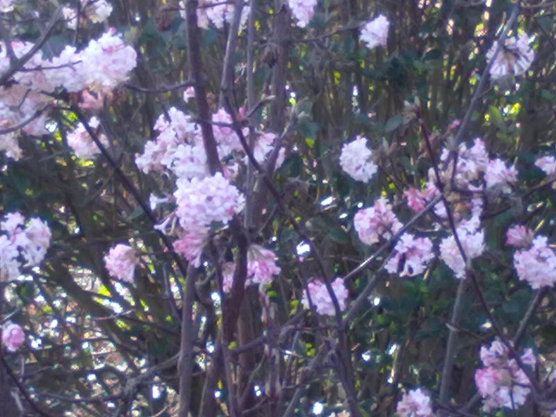 qu'est ce donc cet arbuste fleuri? Viburnum X bodnantense  Photos16