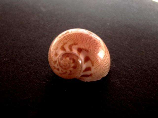 Tanea undulata - (Röding, 1798) Bivalv10
