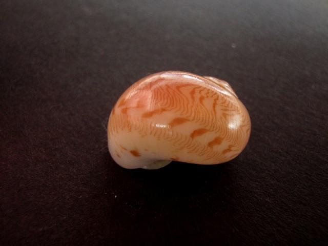 Tanea undulata - (Röding, 1798) Bivalv11