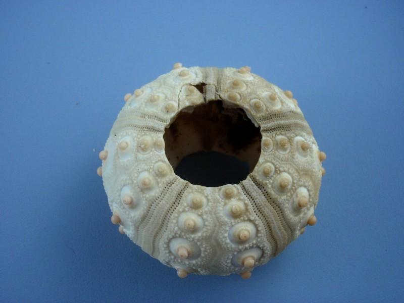 Oursins de Nouvelle Calédonie Oursin12