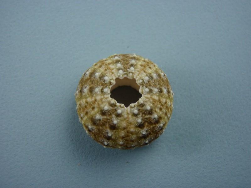 Oursins de Nouvelle Calédonie Oursin15