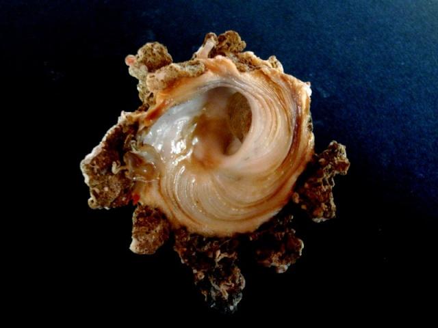 Xenophora peroniana - (Iredale, 1929)  Xeno_p10