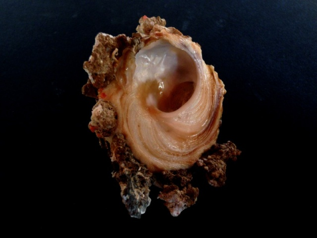 Xenophora peroniana - (Iredale, 1929)  Xeno_p13