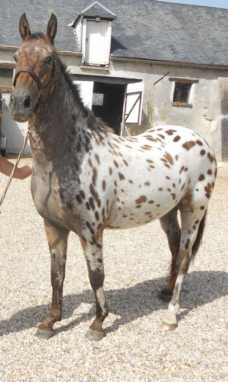 Apaloo des Nouettes, petit poney devient grand! Aout2010