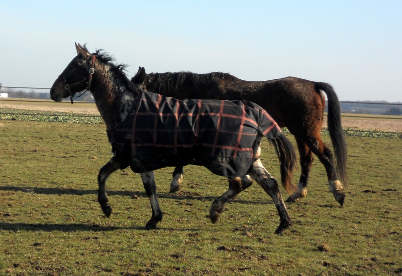 Apaloo des Nouettes, petit poney devient grand! Favrie10