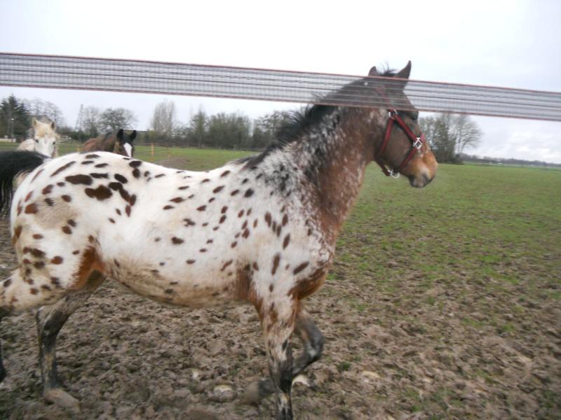 Apaloo des Nouettes, petit poney devient grand! Janvie10