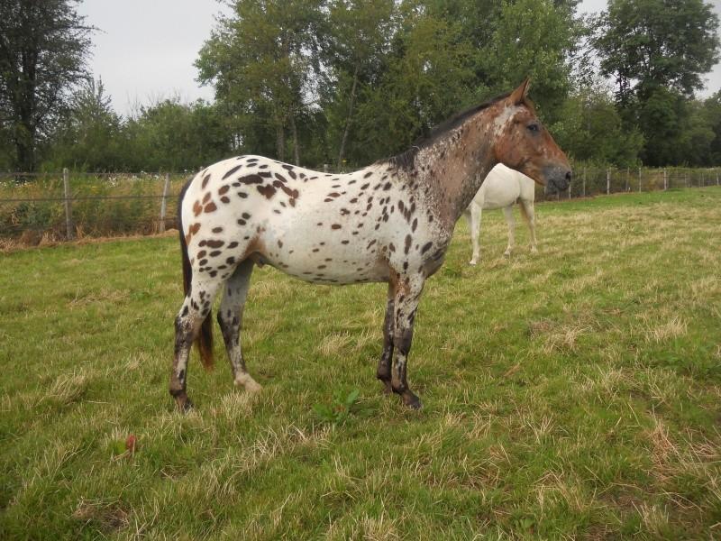 Apaloo des Nouettes, petit poney devient grand! Juille10
