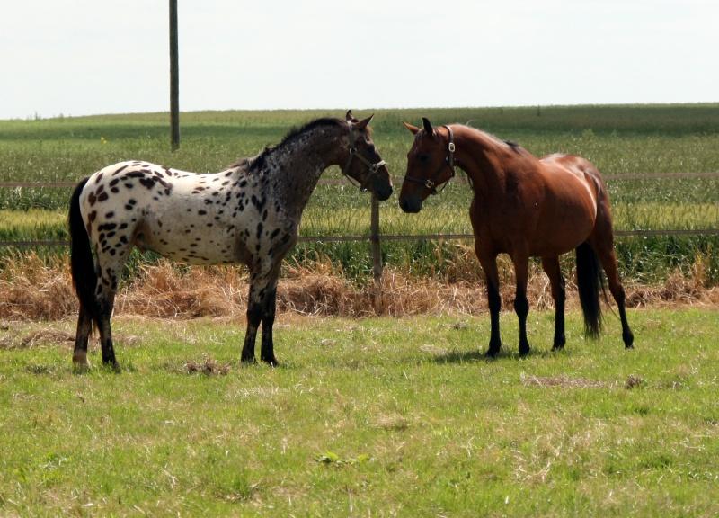 Apaloo des Nouettes, petit poney devient grand! Juin2010
