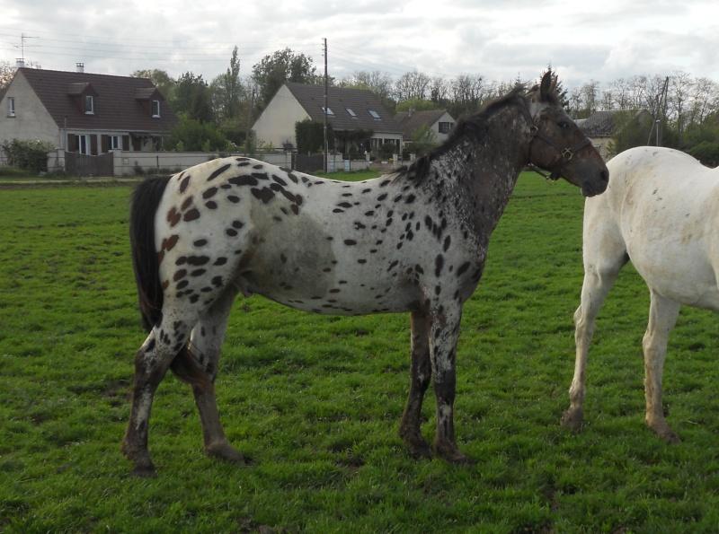 Apaloo des Nouettes, petit poney devient grand! Mai_2010