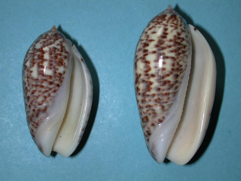 Americoliva julieta (Duclos, 1835) Oliva_12