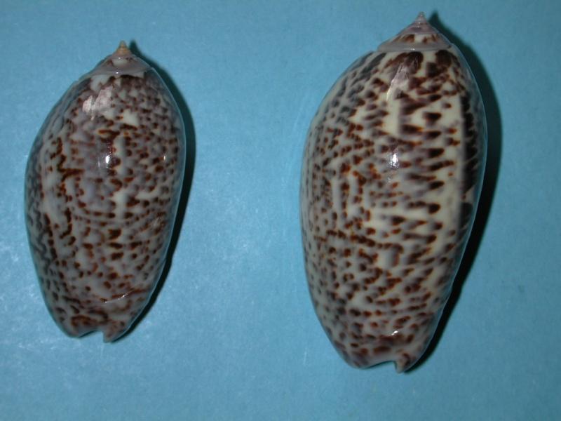 Americoliva julieta (Duclos, 1835) Oliva_13