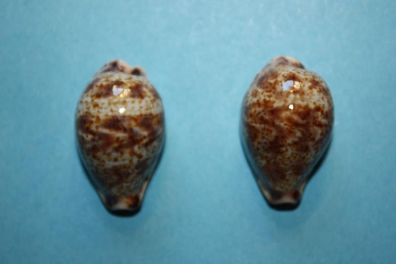 Palmadusta lentiginosa f. buhariensis - (Jonklaas, R.S.L. & K. Nicolay, 1977)  Palmad12