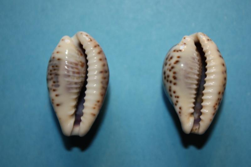 Palmadusta lentiginosa f. buhariensis - (Jonklaas, R.S.L. & K. Nicolay, 1977)  Palmad13