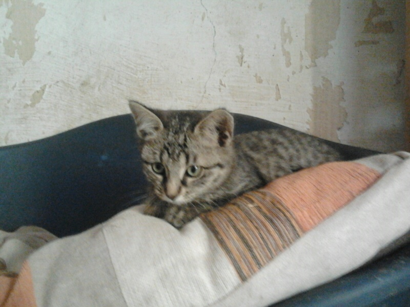 IRMA chaton femelle 10/06/2013 adoptée par jennifer  ( 85 ) 2013-110