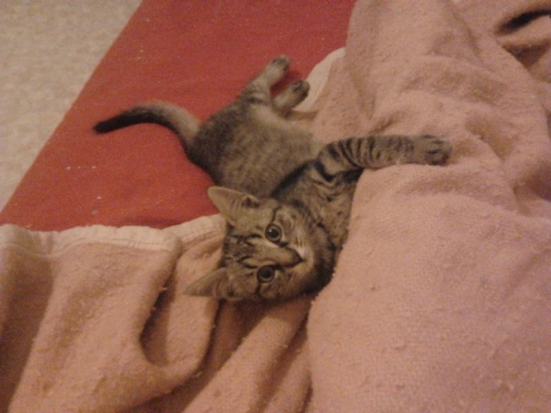 IRMA chaton femelle 10/06/2013 adoptée par jennifer  ( 85 ) 2013-113