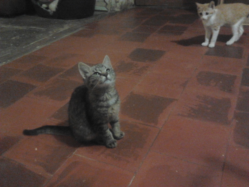 IRMA chaton femelle 10/06/2013 adoptée par jennifer  ( 85 ) 2013-115