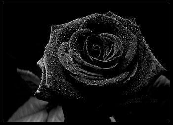 Le jardin - Page 2 Rose910
