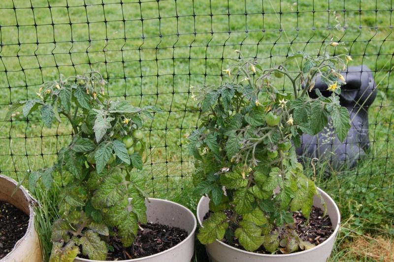 Better Bush Hybird Tomatoes! Dsc_7910