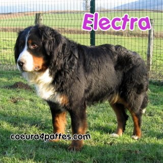 ELECTRA, Femelle, Bouvier Bernois, 4 ans - en refuge - (58) Electr10