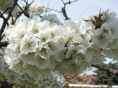 cerisier en fleurs Jeudi110