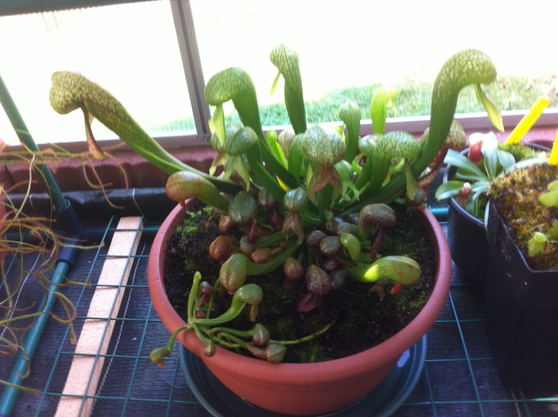Evolution de mon Darlingtonia Img_1739