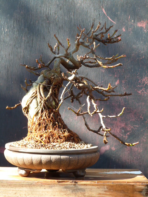 ficus carica on stone...3 years of evolution - Page 2 P1110012