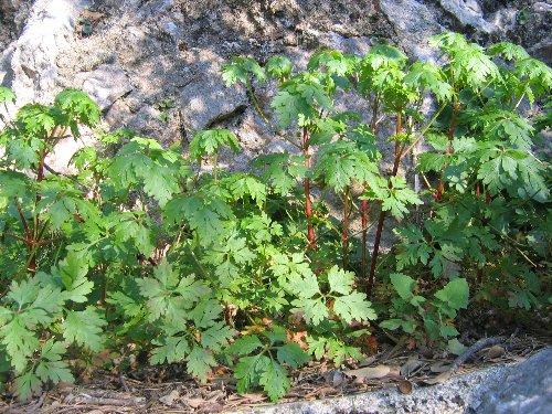 Erodium malacoides - érodium à feuilles de mauve 14_mar10