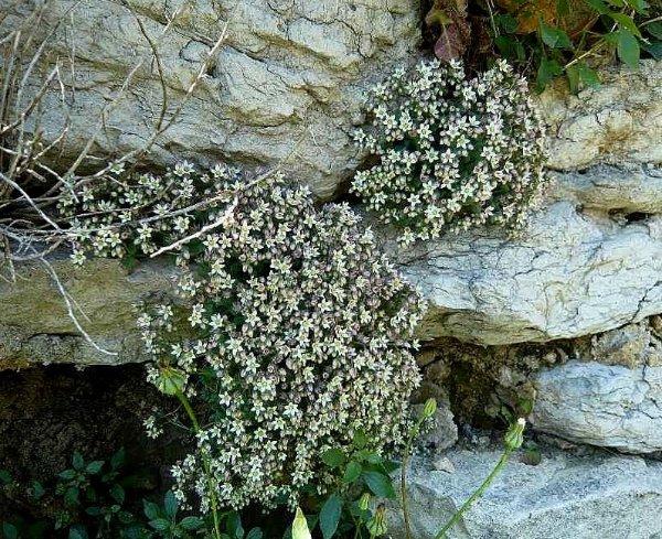 flore des vieux murs, rochers  et rocailles naturelles - Page 2 5_juin10