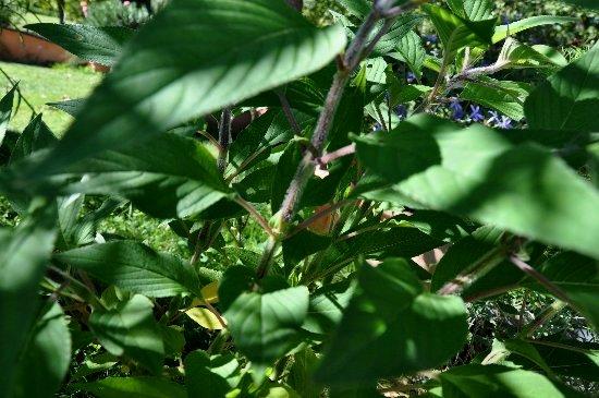 Salvia fulgens et Salvia elegans (=rutilans) - différenciation Aoat_217
