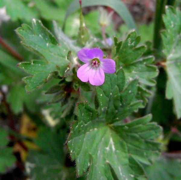 Erodium malacoides - érodium à feuilles de mauve Avril_10